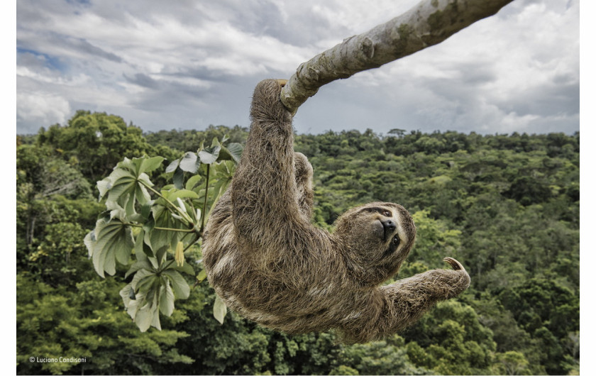 fot. Luciano Candisani, Sloth hanging out