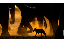 "fot. Sarah Skinner, ""In the footsteps of giants"", 1. miejsce w kategorii Ssaki /  GDT Wildlife Photographer of the Year 2017"
