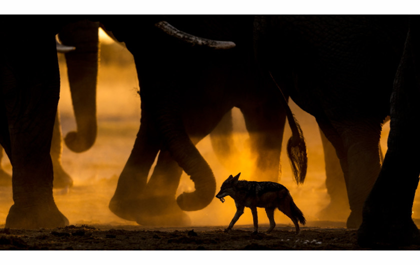 fot. Sarah Skinner, In the footsteps of giants, 1. miejsce w kategorii Ssaki /  GDT Wildlife Photographer of the Year 2017