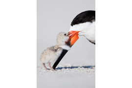 "fot. Thomas Chadwick, ""Affection, finalista kategorii Natural World"