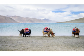 "fot. Yusuf Chiniwala, ""Yaks Beside Pangong Lake"", finalista kategorii Travel"
