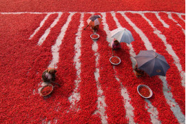 "fot. Azim Khan Ronni, ""Red Chili Pepper Pickers"", finalista kategorii Travel"
