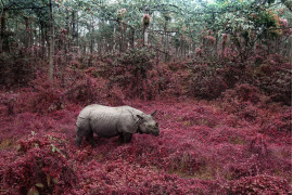 "fot. Tanya Sharapova, ""Rhino From Chitwan"", finalista kategorii Altered Images"
