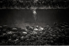 "fot. Nicole Cambre, ""Leap of Faith"", 1. miejsce w kategorii Nature & Wildlife"