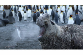 "fot. Jackie Downey, ""Walrus Breath"", Comedy Wildlife Photography Awards 2018"