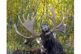 "fot. Mary Hone, ""The Singing Moose"", Comedy Wildlife Photography Awards 2018"