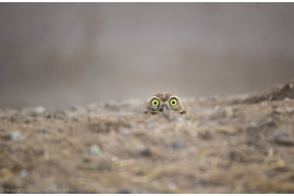 "fot. Shane Keena, ""Peek a boo"", Comedy Wildlife Photography Awards 2018"