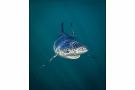 "fot. Tanya Houpermans, ""Smiling Blue Shark"", Comedy Wildlife Photography Awards 2018"