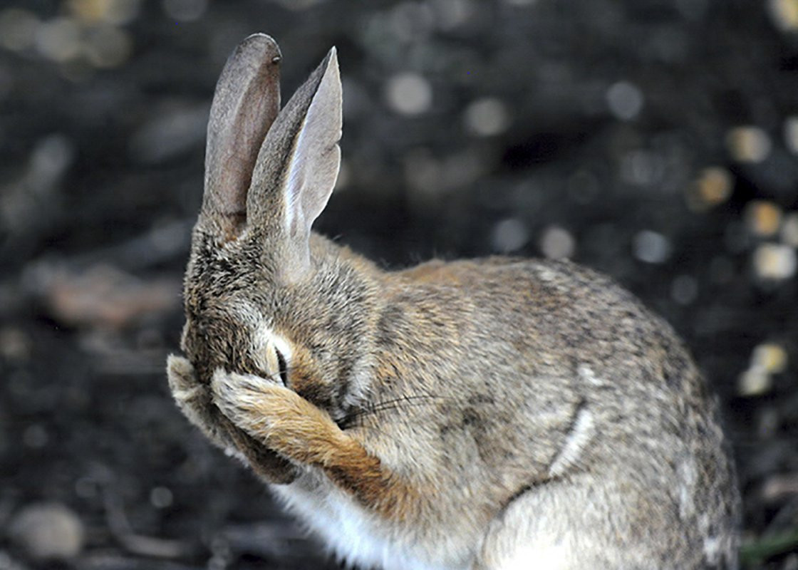 "fot. Daniel Friend, ""Rabbit hiding face in embarassment"", Comedy Wildlife Photography Awards 2018"