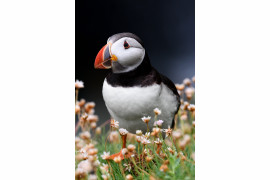 "fot. Natalia Groza-Ejsmont, ""Puffin's Fate"", bronz w kategorii Nature Wildlife 