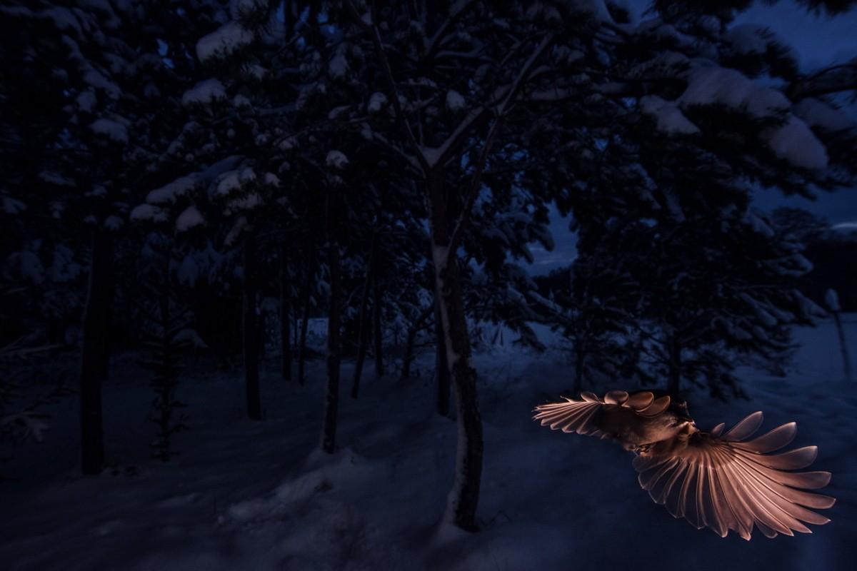 8010353f1cf47 ... myśli na przykład jemiołuszki, które przylatują do nas z dalekiej  północy albo myszołowa włochatego, którego tak naprawdę w Polsce zobaczymy  tylko zimą.