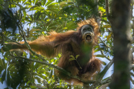 "1. miejsce w kategorii ""Nature - cykle"", fot. Tim Laman, z cyklu ""Tough Times for Orangutans"""